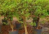 azaleiaarbustotrancado