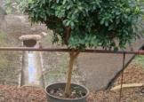 azaleiaguarda-chuvaarvore