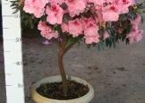 azaleiapote02arvore