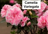 Camelia Variagata
