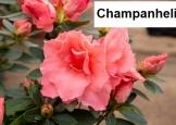 Champanheli