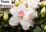 Theio Branco