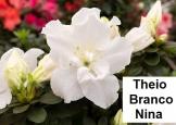 Theio Branco Nina