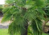 palmeira-moinho-de-vento