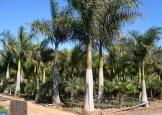 palmeira_imperia_5-6_m_tronco10_12_m_total