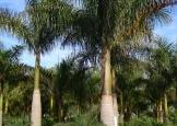 palmeira_imperial4