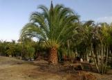 fenixcanariensis2