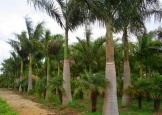 palmeira_imperial