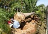 palmeira_imperial3