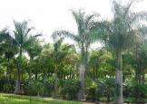 palmeira_imperial5